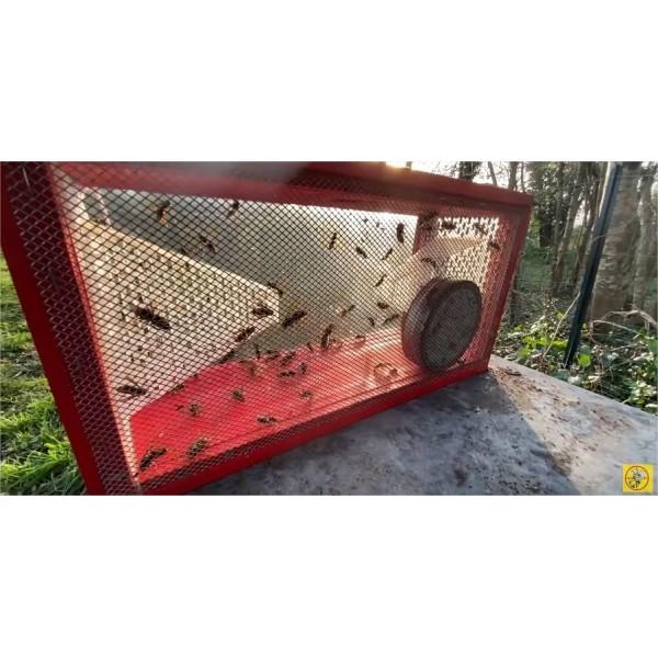 Capture de frelons asiatiques dans piège